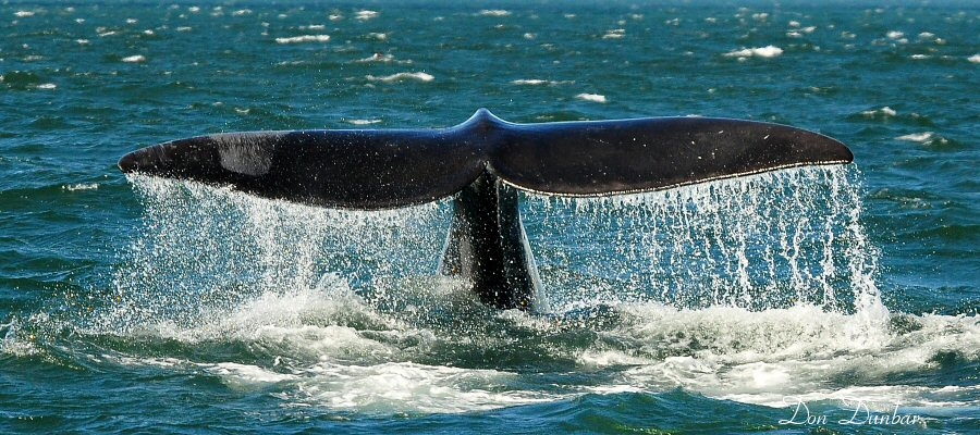 Whale tail in Passamaquoddy Bay